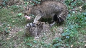 Wild cat eating. She is disturbed by the young kitten and chases it away stock video