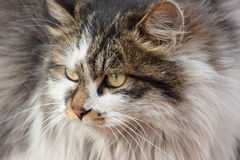 Wild cat,face Royalty Free Stock Photo