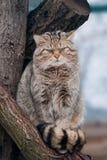 Wild cat Felis silvestris. On tree Royalty Free Stock Image