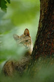 Wild Cat, Felis silvestris, animal in the nature tree forest habitat, Central Europe Royalty Free Stock Photo