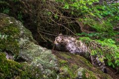 Wild cat felis silvestris silvestris in hunting in bavarian woods nationla park stock images
