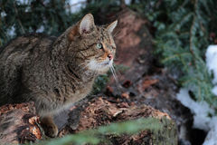 Wild cat, Felis Silvestris. A male of wild cat stand on a dead tree in a deep forest in Maramures mountains natural reserve Royalty Free Stock Photos