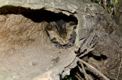 Wild cat  (Felis silvestris silvestris). Wild cat hiding in a tree Royalty Free Stock Photography