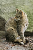 Wild cat felis silvestris Royalty Free Stock Photos