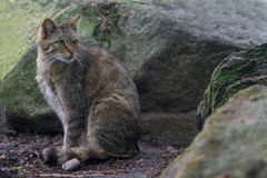Wild cat Felis silvestris Stock Images