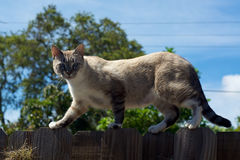 Wild cat on fence looking at viewer Royalty Free Stock Image