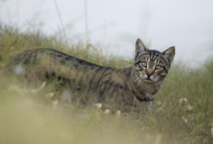 Wild cat. Feral wild  cat in outback Queensland, Australia Royalty Free Stock Images