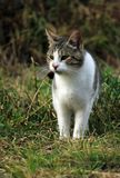 Wild cat in the grass Stock Photography