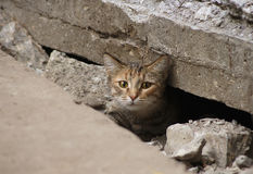 Wild cat hid under the tiles of the road Royalty Free Stock Image