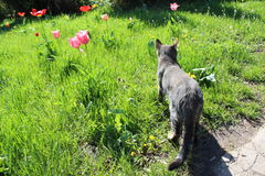 Wild cat Royalty Free Stock Image