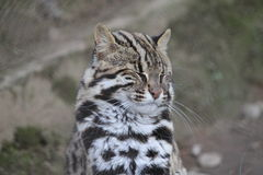 Wild Cat. Wild indian cat in western ghats Royalty Free Stock Photo