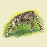 Wild cat, irbis, leopard, snow bars Stock Images