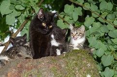 Wild cat with kittens Royalty Free Stock Images