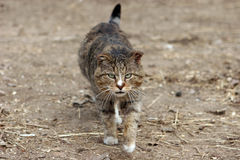 Wild cat. A large wild cat goes through open countryside and is not afraid of anything Stock Photography