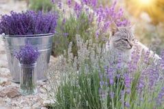 Wild cat in lavender. Stock Image