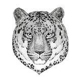 Wild cat Leopard Cat-o`-mountain Panther Hand drawn illustration for tattoo, emblem, badge, logo, patch Royalty Free Stock Image