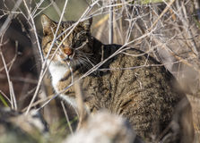 Wild Cat Stock Photos