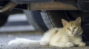 Wild cat lying on the asphalt under a car in the street. A wild gold cat lying on the asphalt under a car in the street Stock Images