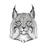 Wild cat Lynx Bobcat Trot Hand drawn illustration for tattoo, emblem, badge, logo, patch Isolated on white background Royalty Free Stock Images