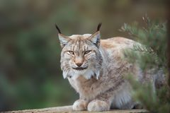 Wild cat Lynx in the nature forest habitat. At summer stock photography