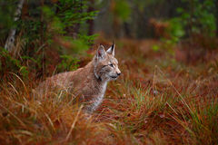 Wild cat Lynx in the nature forest habitat. Eurasian Lynx in the forest, pine forest. Lynx lying on the green moss stone. Cute lyn Royalty Free Stock Images