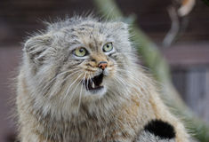 Wild cat manul close up portrait. Wild cat manul with green eyes and opened mouth close up portrait Stock Photography