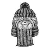 Wild cat Manul wearing knitted hat and scarf Stock Photos