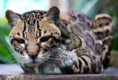Wild cat ocelot in Costa Rica beautiful animal. In jungle like jaguar animal Royalty Free Stock Images