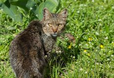 Wild cat outdoors. Cat in a grass stock photography