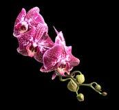 Wild cat phalaenopsis. Isolated on a black background Stock Photos