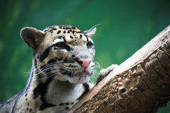 Wild Cat Portrait Stock Image
