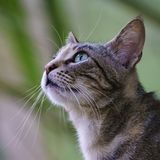 Wild Cat Portrait Profile. Blue eye detail royalty free stock image