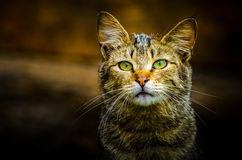 Wild cat. Portrait of a sad wild cat Royalty Free Stock Images