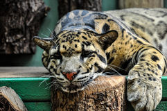 Wild cat in Prague Zoo , Czech Republic Royalty Free Stock Photography