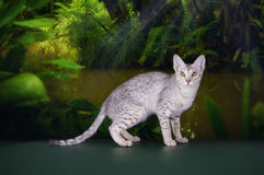 Wild cat in the rainforest Stock Photography