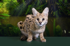 Wild cat in the rainforest Stock Photos
