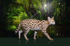 Wild cat in the rainforest Stock Image
