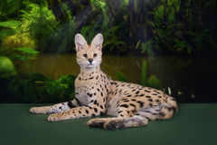 Wild cat in the rainforest Royalty Free Stock Image
