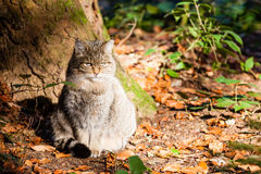 Wild cat. Relaxing wild cat on the sun shine Royalty Free Stock Image