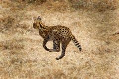 Wild cat on the run stock photos