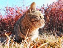 Wild cat 2. A wild cat sitting on a grass land outside Royalty Free Stock Photos