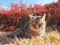 Wild cat stare. A wild cat sitting on a grass land outside Stock Image