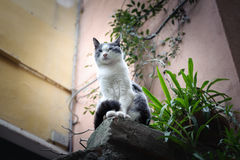 Wild cat is sitting like a lion on stone in Vernazza town, Italy.  Royalty Free Stock Images