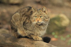 Wild cat. The wild cat sitting on the wood trunk Royalty Free Stock Photography