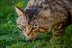 Wild cat. Tabby. Wild cat stalking and hunting Stock Images