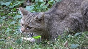 Wild cat. Wild tabby cat in a zoo, eating stock video