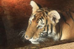 Wild cat under glass Royalty Free Stock Photos