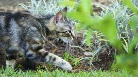 Wild Cat Walking on the Grass royalty free stock photos