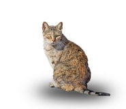 Wild cat on white Royalty Free Stock Images