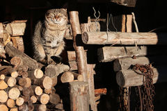 Wild cat. Who sits on a wood Stock Image